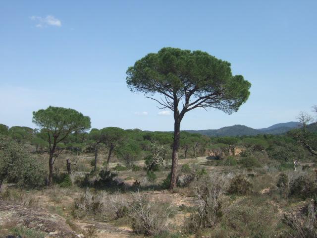 Pinus pinea - pin parasol - Page 3 Dscf0012