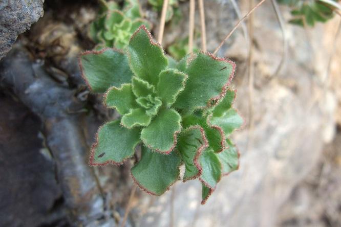 Aeonium smithii Dscf0019