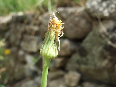 Hypochaeris radicata - porcelle enracinée Dscf0033