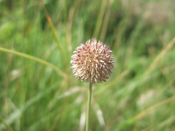 Allium vineale - ail des vignes Dscf0037