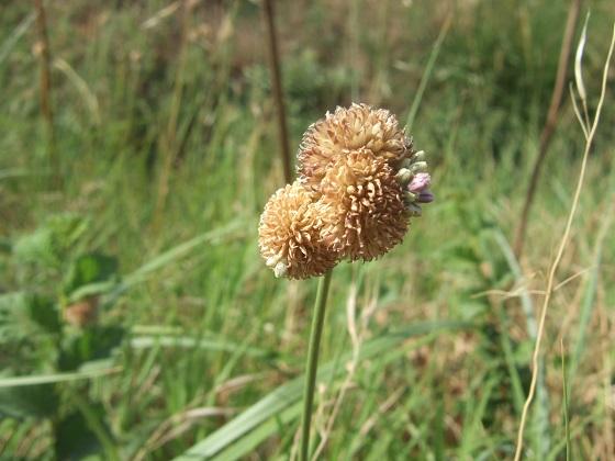 Allium vineale - ail des vignes Dscf0038