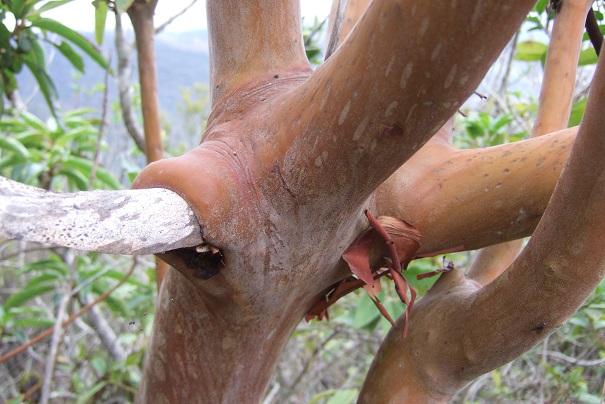 Arbutus canariensis - arbousier des Canaries Dscf0114