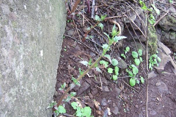 Canarina canariensis Dscf0115