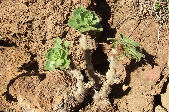 Aeonium smithii Dscf0117