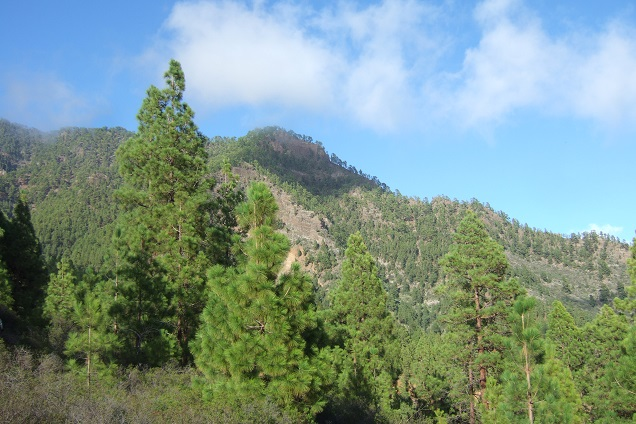 Pinus canariensis - pin des Canaries Dscf0121