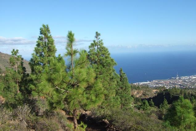 Pinus canariensis - pin des Canaries Dscf0123