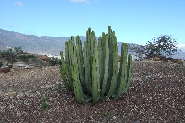 Euphorbia canariensis - euphorbe des Canaries Dscf0124