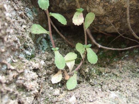 Campanula erinus - campanule à petites fleurs Dscf0126