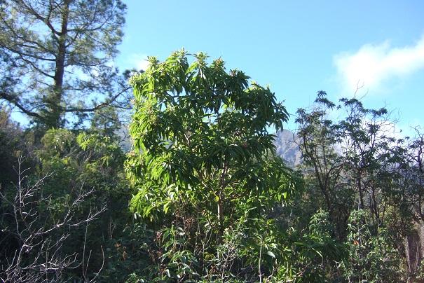 Arbutus canariensis - arbousier des Canaries Dscf0210