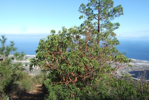 Arbutus canariensis - arbousier des Canaries Dscf0211