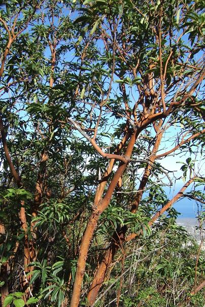 Arbutus canariensis - arbousier des Canaries Dscf0212
