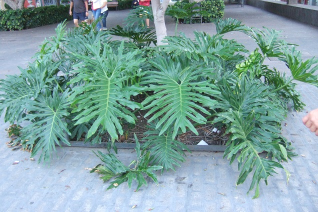 Philodendron bipinnatifidum - selloum - Page 3 Dscf0215