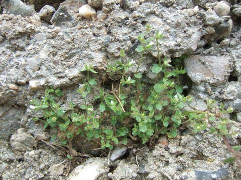 Campanula erinus - campanule à petites fleurs Dscf0217