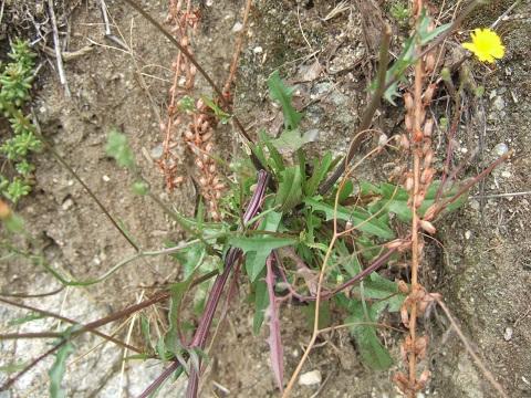 Crepis capillaris - crépis à tige fine Dscf0219