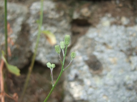 Crepis capillaris - crépis à tige fine Dscf0221