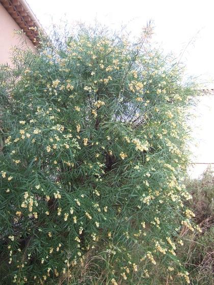 Freylinia lanceolata - Page 3 Dscf0225