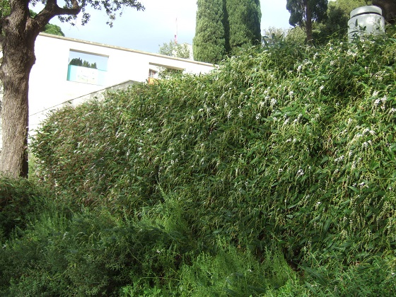 Hardenbergia violacea - Page 2 Dscf0233
