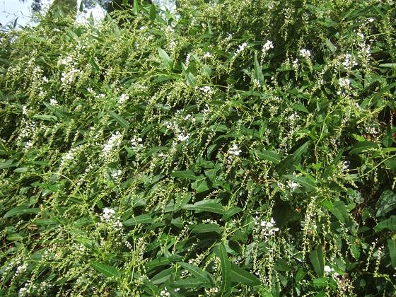 Hardenbergia violacea - Page 2 Dscf0234
