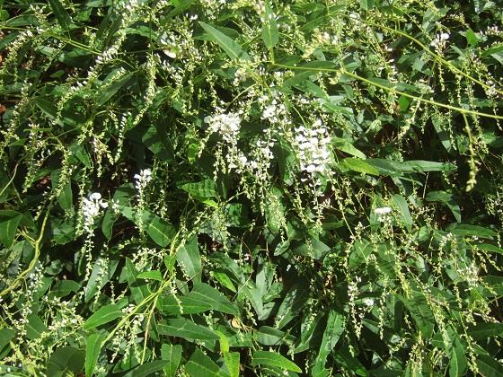 Hardenbergia violacea - Page 2 Dscf0235