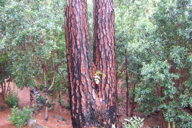 Pinus canariensis - pin des Canaries Dscf0319
