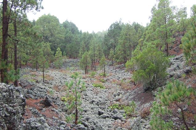 Pinus canariensis - pin des Canaries Dscf0322