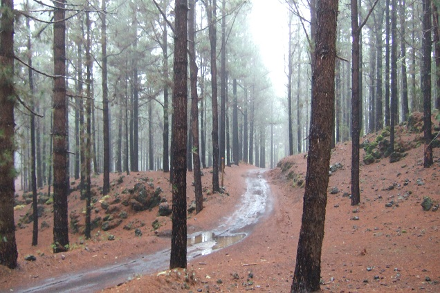 Pinus canariensis - pin des Canaries Dscf0323