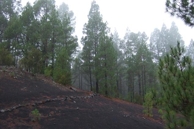 Pinus canariensis - pin des Canaries Dscf0324