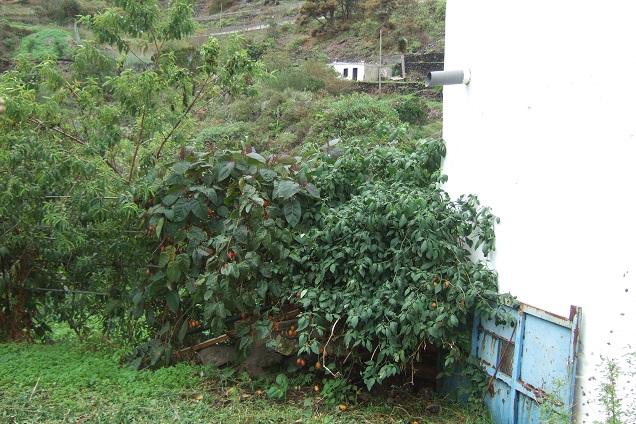 Solanum betaceum (= Cyphomandra betacea) - tomate en arbre Dscf0325