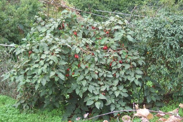 Solanum betaceum (= Cyphomandra betacea) - tomate en arbre Dscf0326