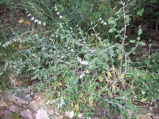 Salvia discolor Dscf0339