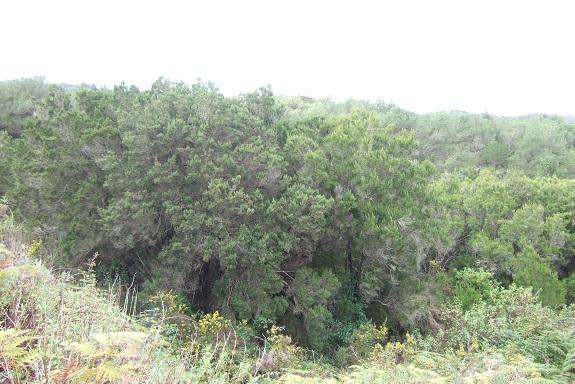 Erica arborea Dscf0353
