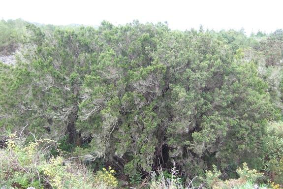 Erica arborea Dscf0354