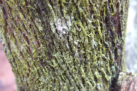 Erica arborea Dscf0356