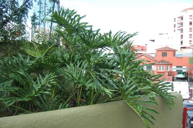 Philodendron bipinnatifidum - selloum - Page 3 Dscf0411