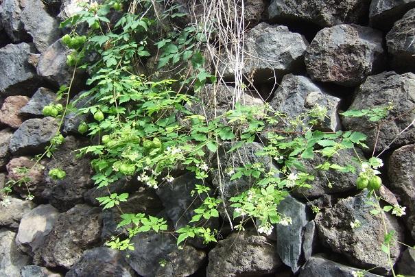 Cardiospermum halicacabum - cardiosperme Dscf0413