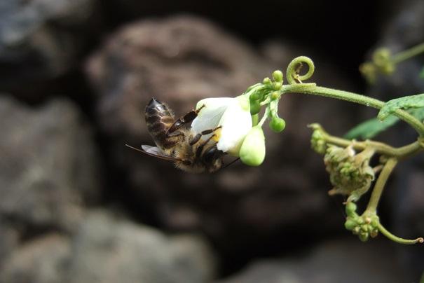 Cardiospermum halicacabum - cardiosperme Dscf0415