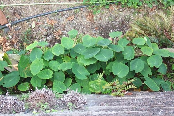 Colocasia esculenta - taro - Page 11 Dscf0427