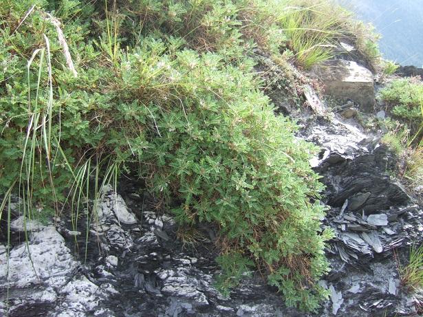 Astragalus sempervirens - astragale aristée Dscf0428