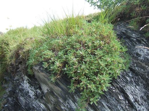 Astragalus sempervirens - astragale aristée Dscf0429