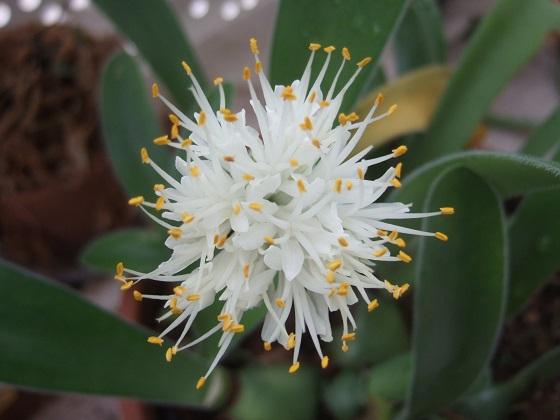 Haemanthus pauculifolius Dscf0433