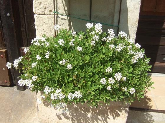 Iberis semperflorens - ibéris toujours fleuri Dscf0438