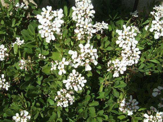 Iberis semperflorens - ibéris toujours fleuri Dscf0439