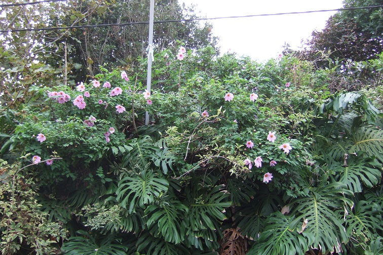 Dahlia imperialis - Page 8 Dscf0514