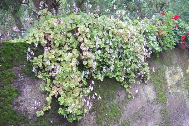 Plectranthus verticillatus Dscf0520