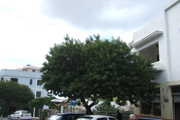 Schinus terebinthifolia - arbre aux baies roses Dscf0524