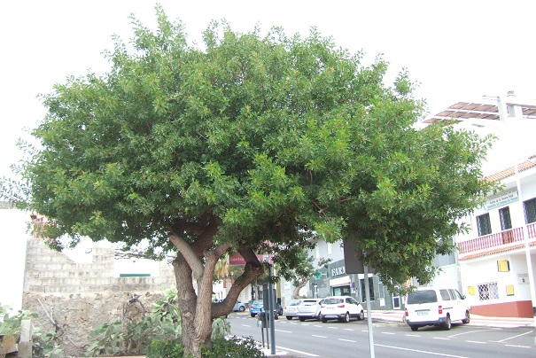 Schinus terebinthifolia - arbre aux baies roses Dscf0525