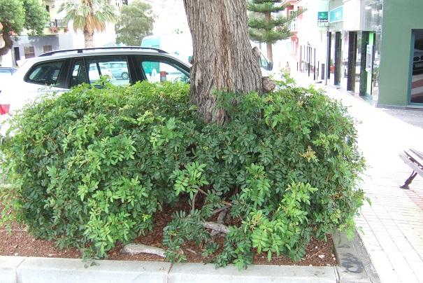 Schinus terebinthifolia - arbre aux baies roses Dscf0528