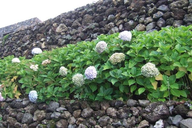 Hydrangea macrophylla - hortensia Dscf0530