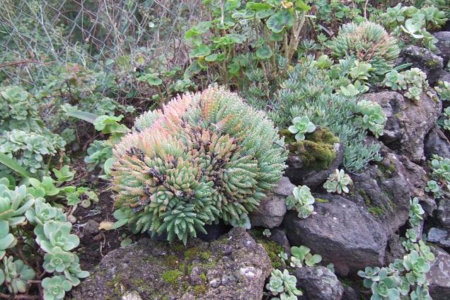 Aloe brevifolia Dscf0532