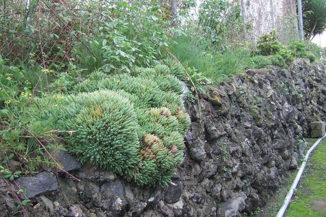 Aloe brevifolia Dscf0533